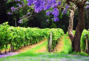 Bago Vineyards - Redcliffe Tourism