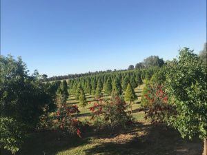 Rutherglen Christmas Trees Farm Stay - Redcliffe Tourism