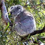Koala Conservation Centre - Redcliffe Tourism