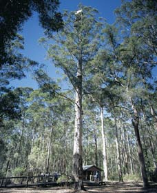 Diamond Tree Lookout Manjimup