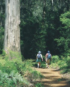 Gloucester Tree - Redcliffe Tourism