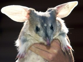 Charleville - Bilby Experience - Redcliffe Tourism