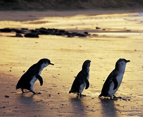 Phillip Island Nature Park - Redcliffe Tourism