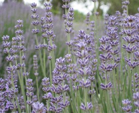 Warratina Lavender Farm - Redcliffe Tourism