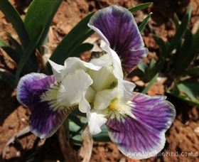 Sunshine Iris Nursery - Redcliffe Tourism