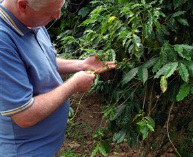 Wombah Coffee Plantation - Redcliffe Tourism