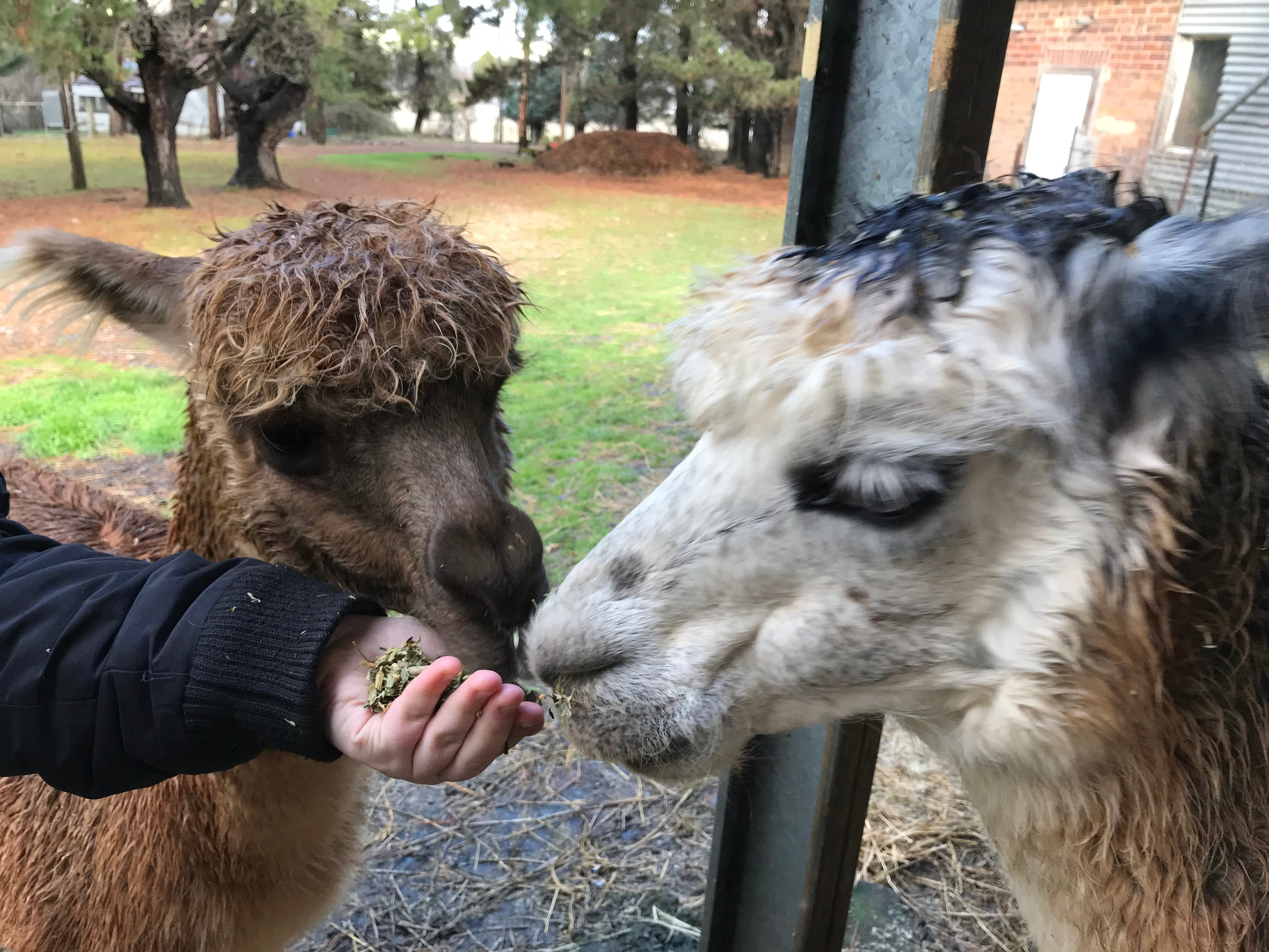Alpaca Farm Experience at Crookwell - Redcliffe Tourism