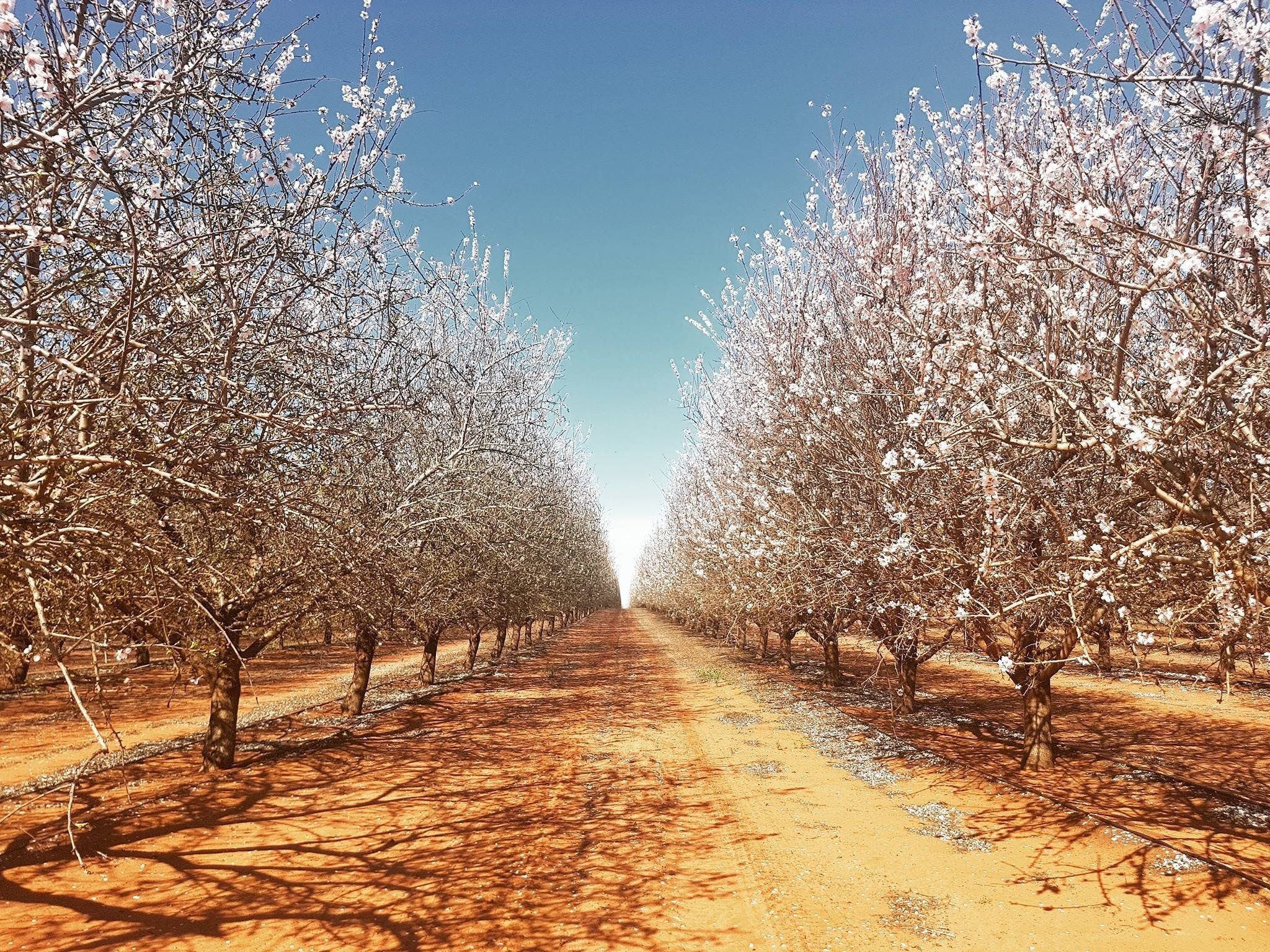 Mallee Almond Blossom Festival - Redcliffe Tourism
