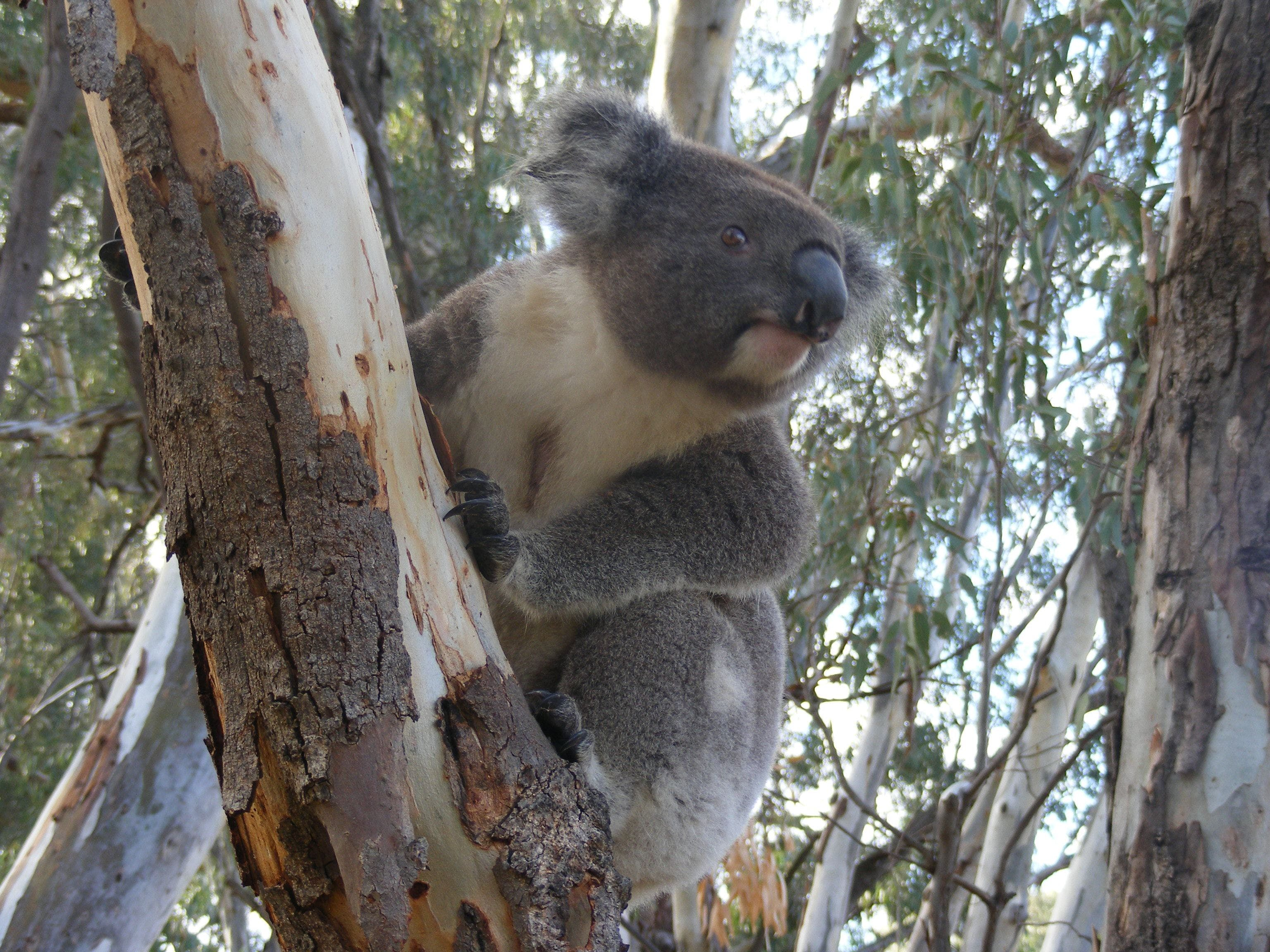 Annual Koala Count - Redcliffe Tourism