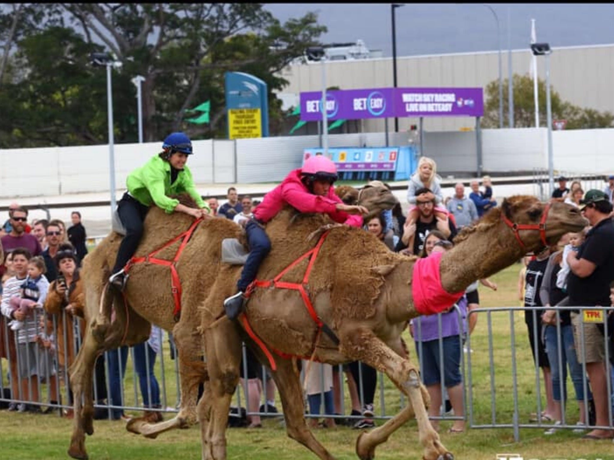 Camel Races at Gosford Showgrounds - Redcliffe Tourism